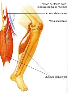 4-27 musculo esqueletico