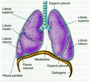 4-32 pulmones429