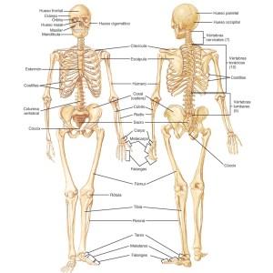 4-5. Sistema Oseo