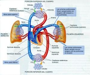 4-38 Aparato Circulatorio