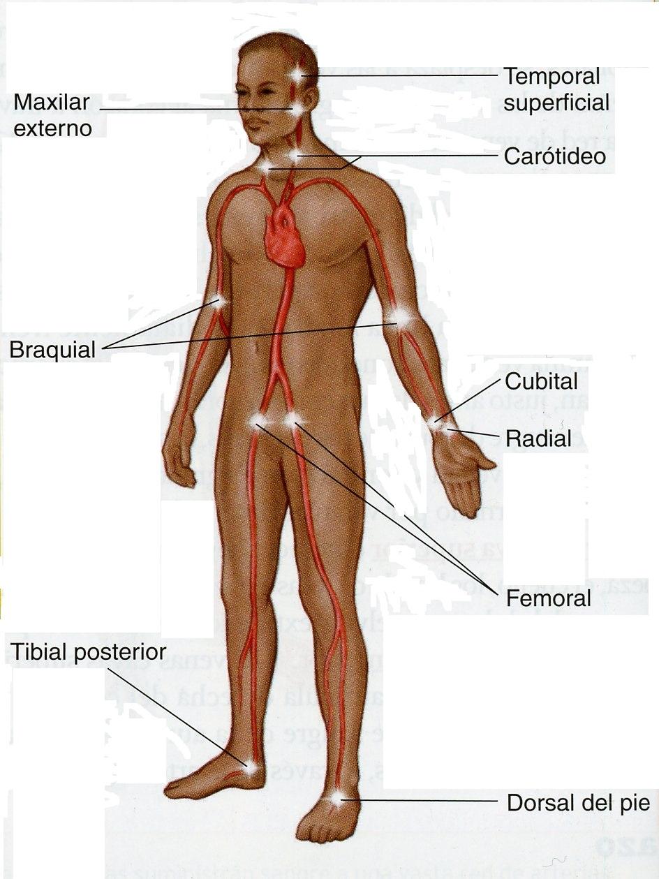 FISIOLOGIA DEL APARATO CIRCULATORIO | EIFE-FUNDETAM