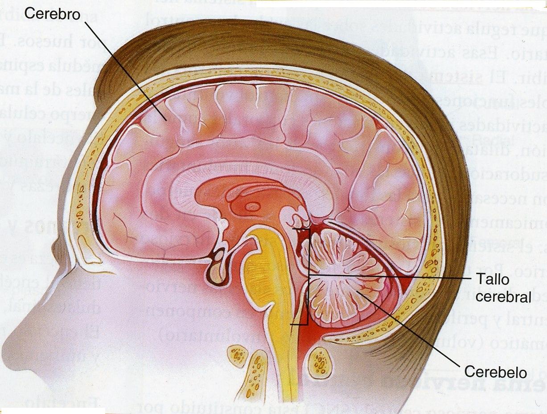 partes del cerebro | EIFE-FUNDETAM