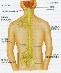 4-46 medula espinal710