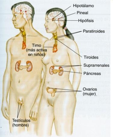 4-49 sistema endocrino